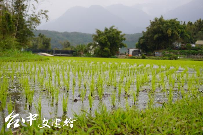 花蓮富里是全台有機米耕作密度最高的區域(攝影:謝平平)